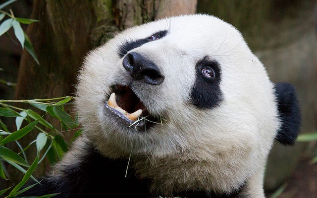 Rencontrez le ver parasite qui tue les pandas géants