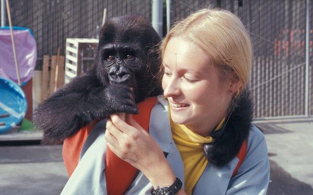手話学習で有名なゴリラココが亡くなりました