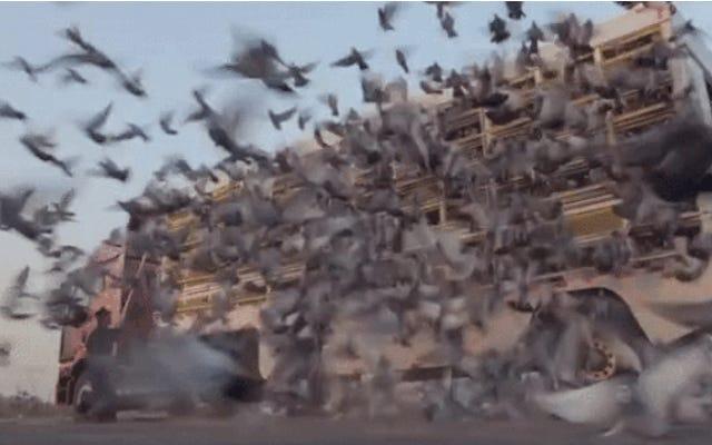 Hayvan dışkısının çoğu kahverengiyse, güvercin dışkısı neden beyazdır?