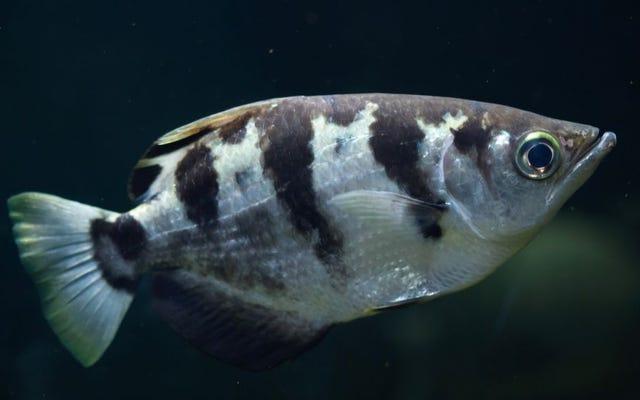 अनसेटिंग एक्सपेरिमेंट से पता चलता है कि मछली मानव चेहरे को पहचान सकती है