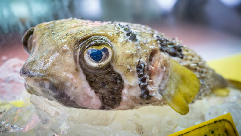 Illustration for article titled Japan's Ultra-Poisonous Pufferfish Holds the Key to the Pain Killers of the Future
