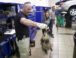 Illustration for article titled Audi Technician Finds Live Possum Nest In A4, Screams Like Little Girl