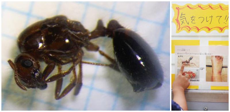 Japón manda a inspeccionar con urgencia sus puertos tras encontrar una reina de hormiga de fuego en Osaka