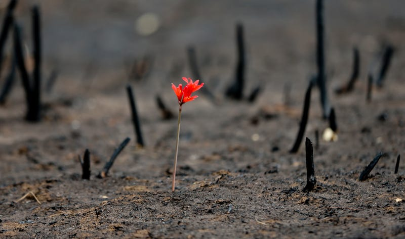 A flower shoots up through soot in a community razed by wildfires on Feb. 2nd, 2017. Image: AP Photo/Esteban Felix