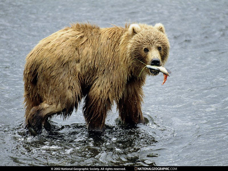 Illustration for article titled Watch Brown Bears Fish at Katmai National Park!