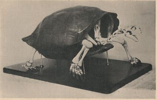 Illustration for article titled Extinct Tortoise Could Make a Comeback