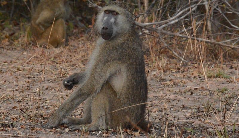 Así es como la caca de babuino nos ayudará a estudiar los animales más esquivos del planeta