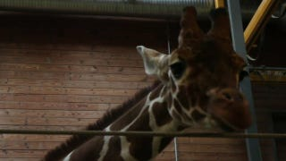 Illustration for article titled Europe's giraffe eugenics program claims victim