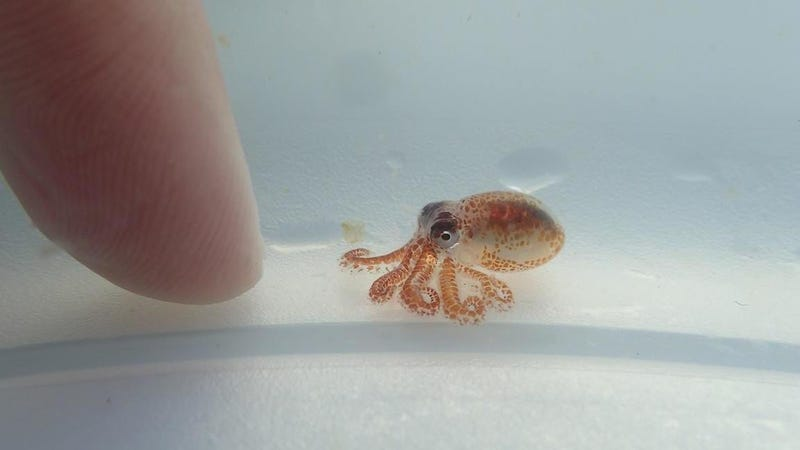 That Adorable Baby Octopus Is Actually a Pea-Sized Killer