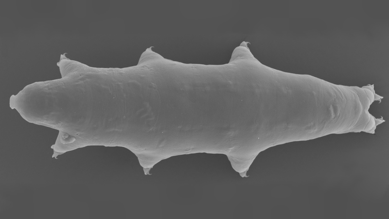 A new species of tardigrade, Macrobiotus shonaicus,  has been discovered in Japan.