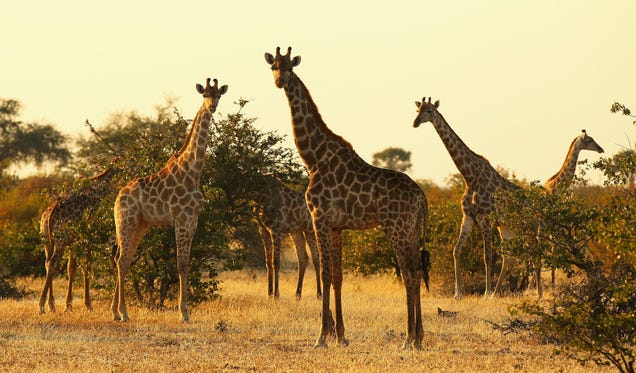 Biologists Have Been Vastly Underestimating Giraffes' Social Skills
