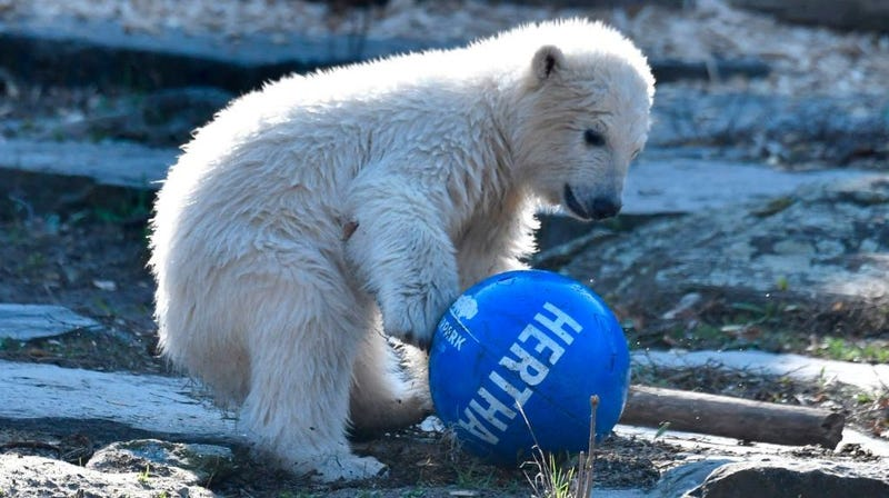 Illustration for article titled Eat shit, Gritty: German soccer club now has a sports-playing baby polar bear