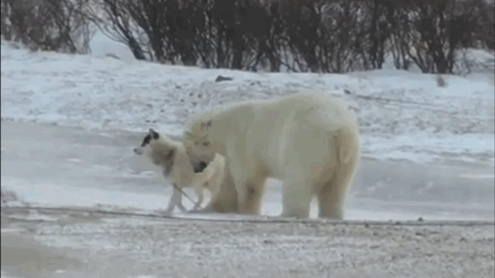 Esta historia de un oso polar jugando con un perro encadenado sí tiene final feliz