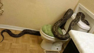 Illustration for article titled Lady Walks Into Her Bathroom and Finds a 12-Foot Python