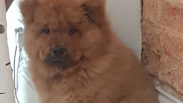 4-Month-Old Chow Puppy Being Held in Police Custody Has Rightfully Been Freed