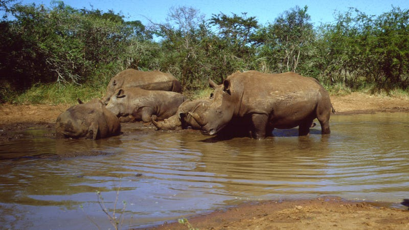 16 Endangered Black Rhinos Successfully Relocated to Eswatini