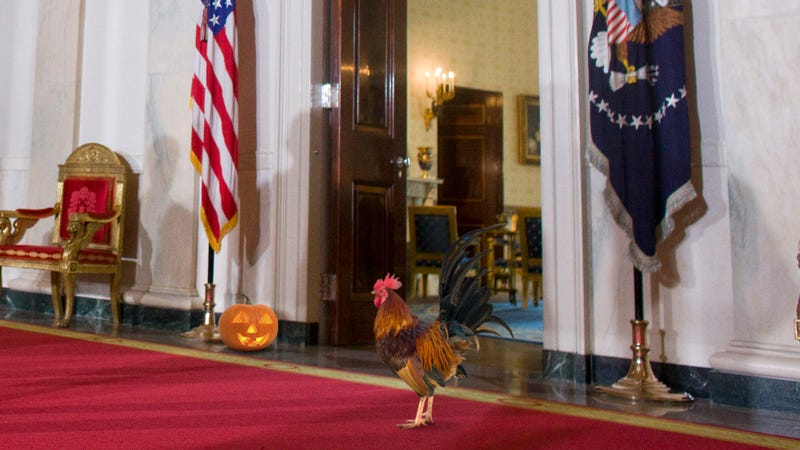 Major Security Crisis: The Rooster That's Loose In The White House Is No Longer Afraid Of The Jack-O'-Lantern President Trump Put Outside The Oval Office To Scare It Away