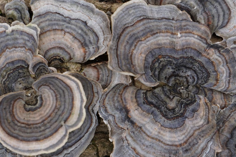 Illustration for article titled Here's some turkey tail or maybe its false turkey tail
