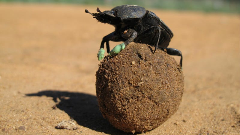 Dung beetles like to chill on top of balls of poop. Now we ... Q The Dung Beetle