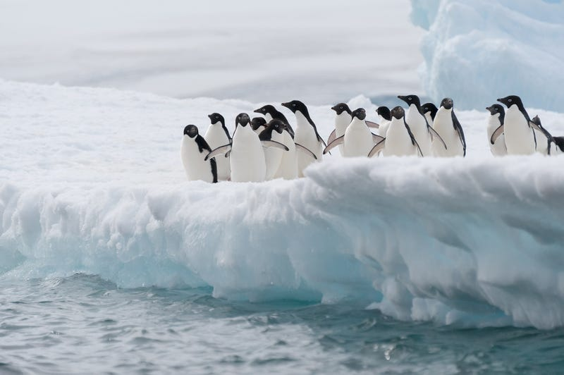 Illustration for article titled An Iceberg Collision Is Responsible For The Near Destruction Of A Penguin Colony