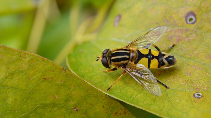 A hoverfly, one of the pollinating insects that stands to benefit from a 1.5 degree warming cap.