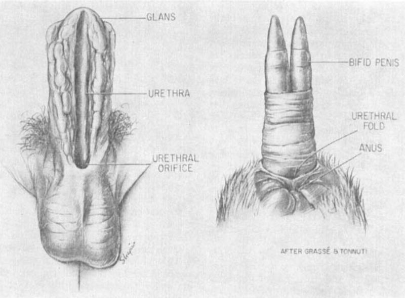 La modificación más extrema del pene la realizan estos