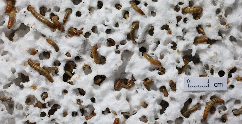 Illustration for article titled Styrofoam-Chomping Mealworms Can Help Solve Our Trash Problem