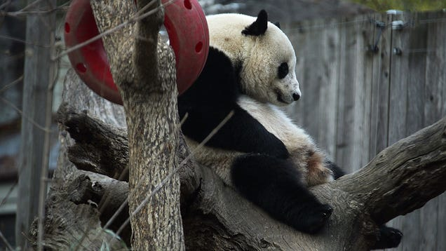 The International Mission to Get Bao Bao the Panda Laid