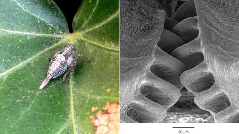 Descubren un insecto que ha desarrollado sus propios engranajes