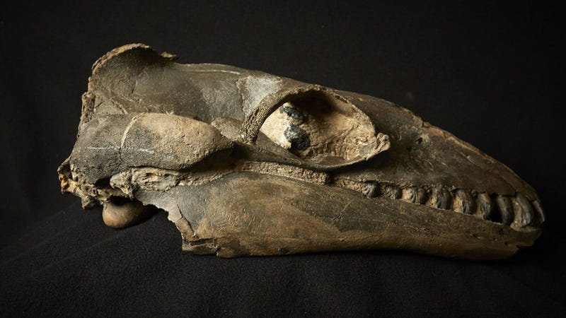 Mystery Decoded: Ancients whales were predators with very sharp teeths