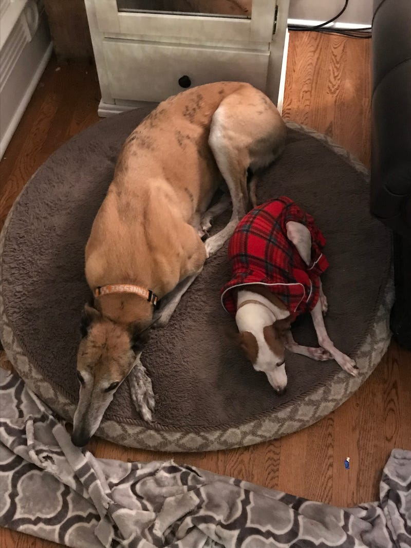 Illustration for article titled How many Greyhounds fit on a dog bed?
