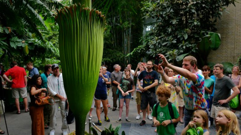 "Illustration for article titled The massive ""corpse flower"" has finally bloomed! It smells awful!"