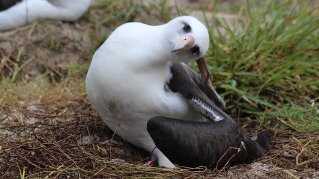 World s Oldest Wild Bird Just Laid Another Dang Egg