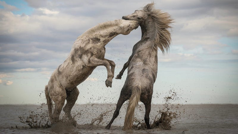 """""""Stallions Playing."""" This year's grand prize winner of the Nature Conservancy's annual photo contest."""