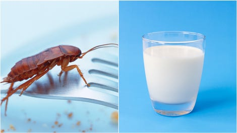 Why most of us drink cow's milk (and not whale or camel milk)
