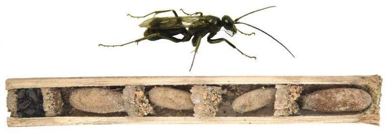 Illustration for article titled This Wasp Defends Its Home With the Cadavers of Its Victims