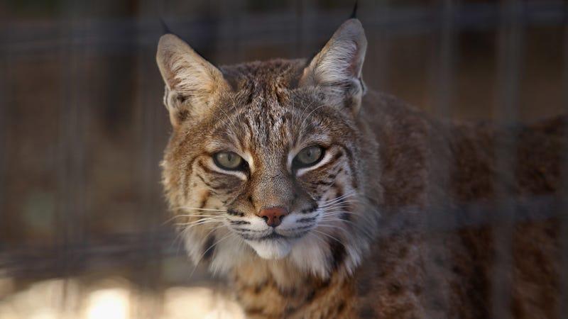 A non-rabid (I assume) bobcat.