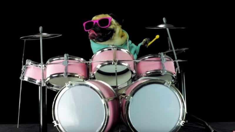 """Illustration for article titled Let's all just watch this sunglass-wearing pug play """"Enter Sandman"""" on drums"""