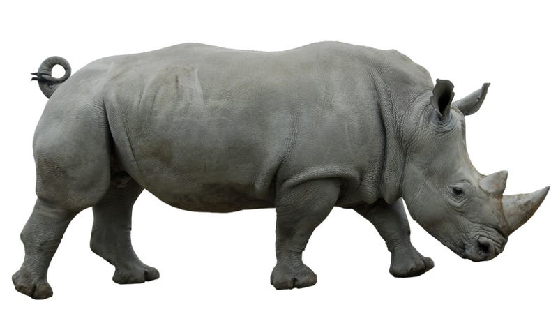 Illustration for article titled In South Africa, rhinos could soon become agents of chemical warfare