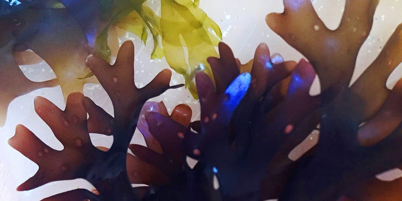 Illustration for article titled This Seaweed Is Blue and Red at the Same Time