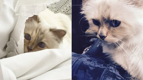 From Hairball to Heiress: Choupette Is Likely in Line to Inherit Fortune