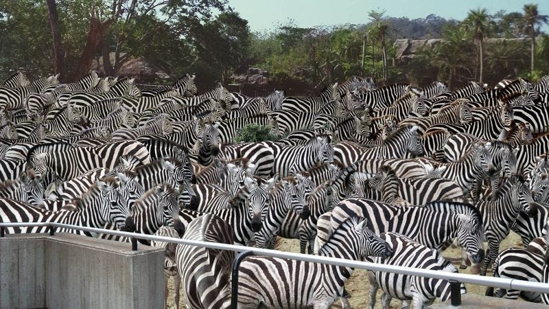 Zebras packed into Seattle's Woodland Park Zoo.