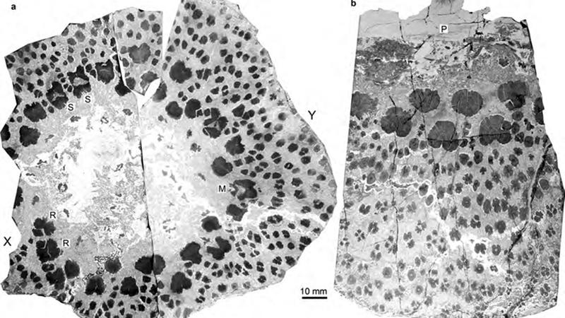 Illustration for article titled El tronco de los árboles prehistóricos era más extraño y complejo que el de los actuales, y no sabemos por qué
