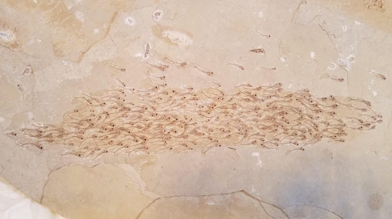The remarkable fossil showing a school of fish in action.