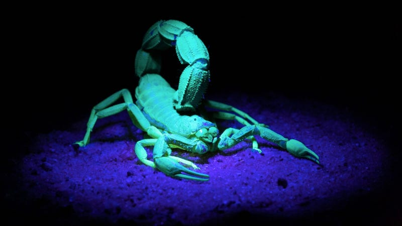 Illustration for article titled Illuminating Brain Tumors With Scorpion Toxins Could Save Lives
