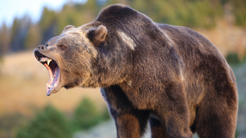 Bears | Disneynature
