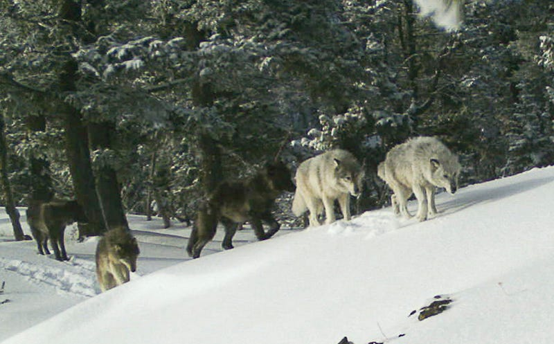 These wolves reside in Oregon.