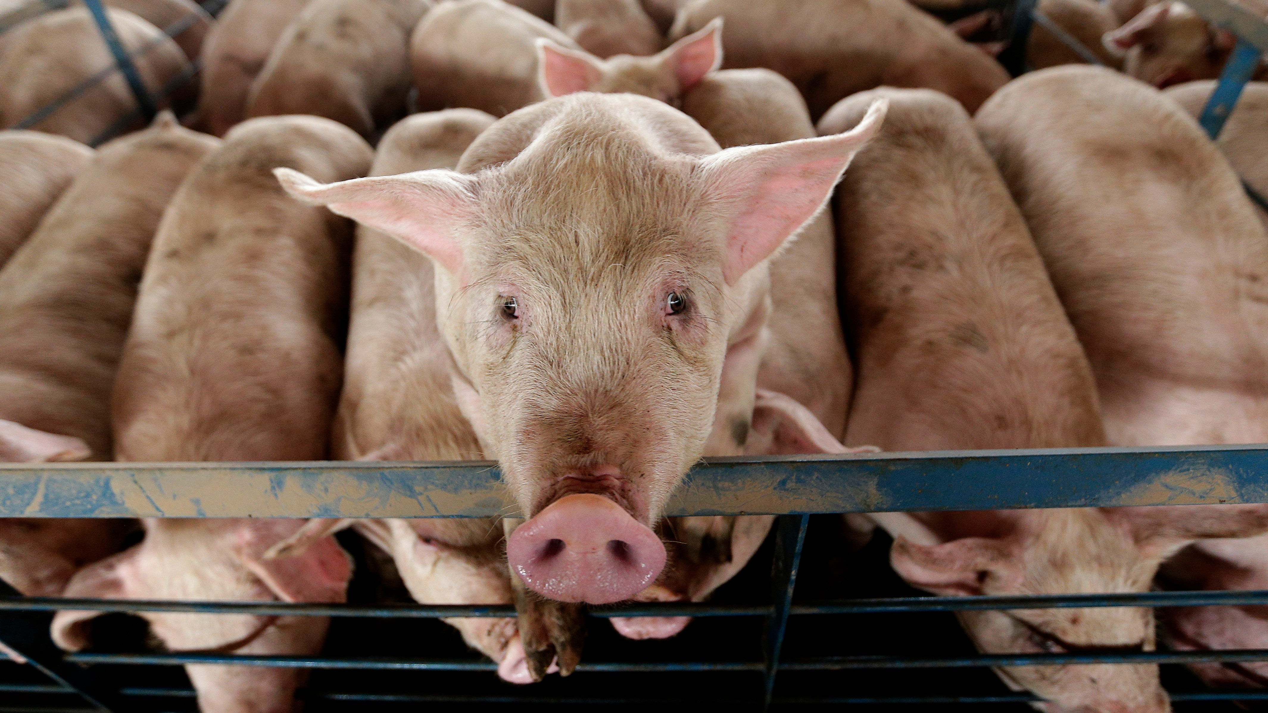 Scientists Partially Revive Disembodied Pig Brains, Raising Huge Questions