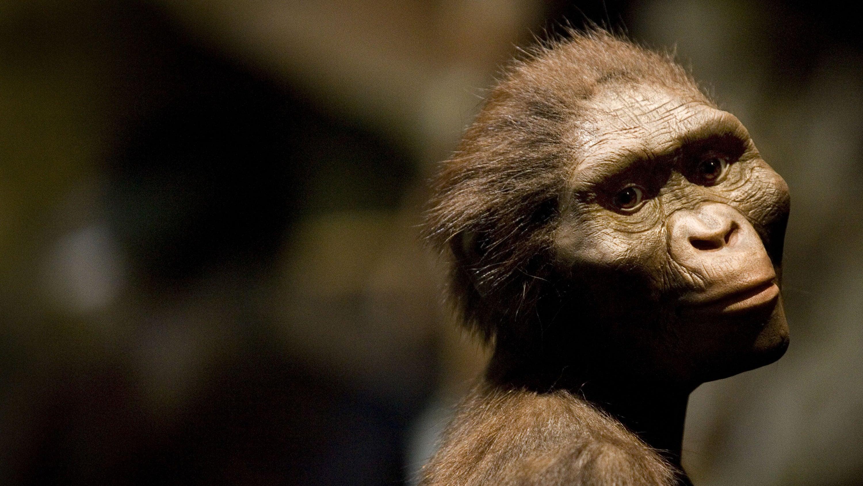 australopithecus-afarensis biology early-humans evolution human-evolution lucy paleoanthropology paleoarchaeology