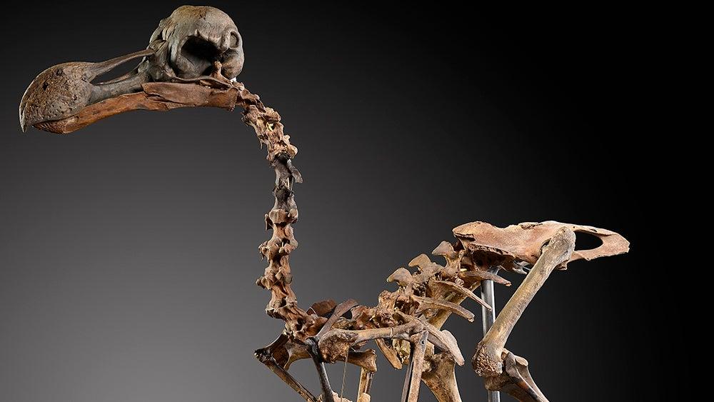 dodo dodo-auction dodo-skeleton